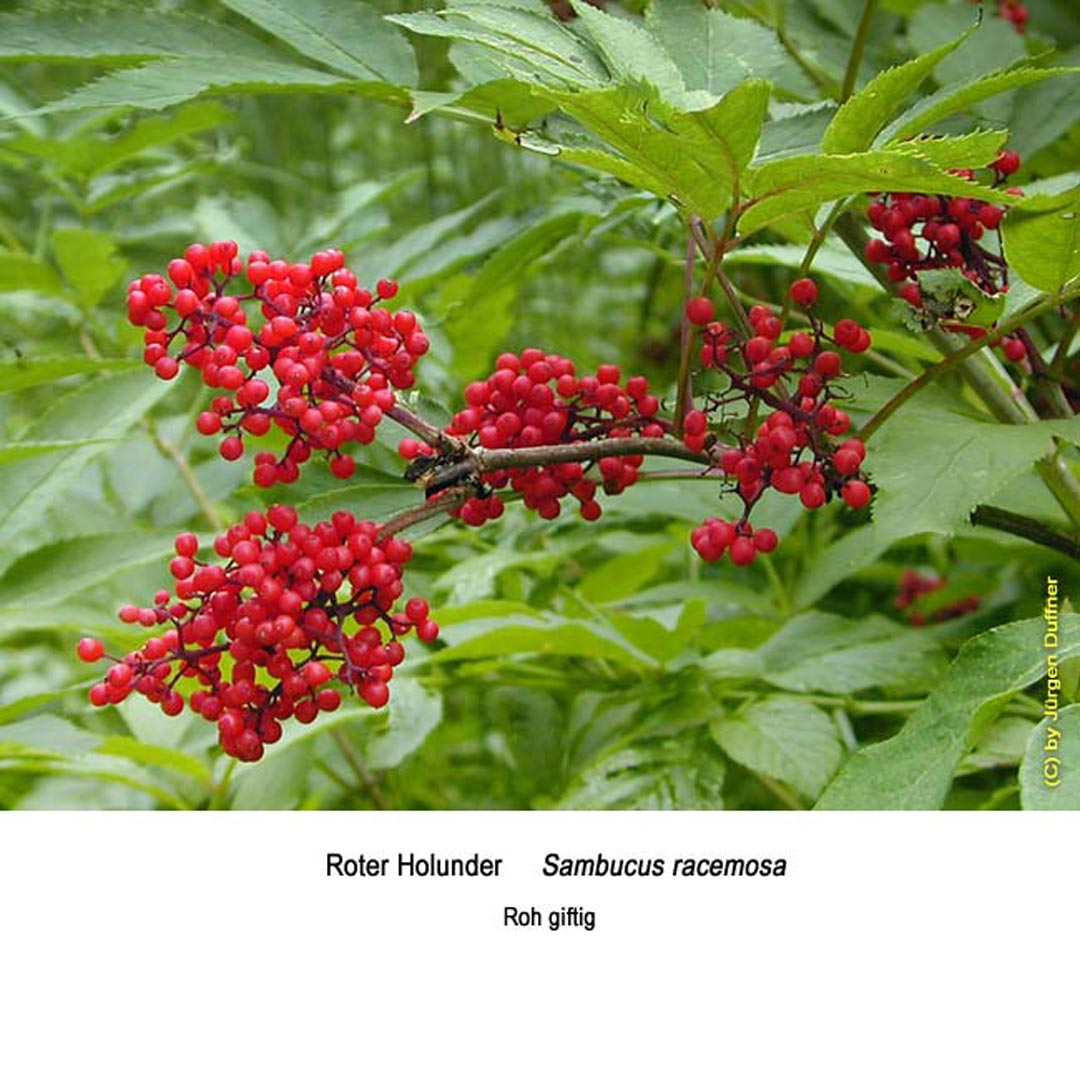 roter holunder roter holunder botanische diasammlung 2005 fr chte roter holunder flora natur. Black Bedroom Furniture Sets. Home Design Ideas